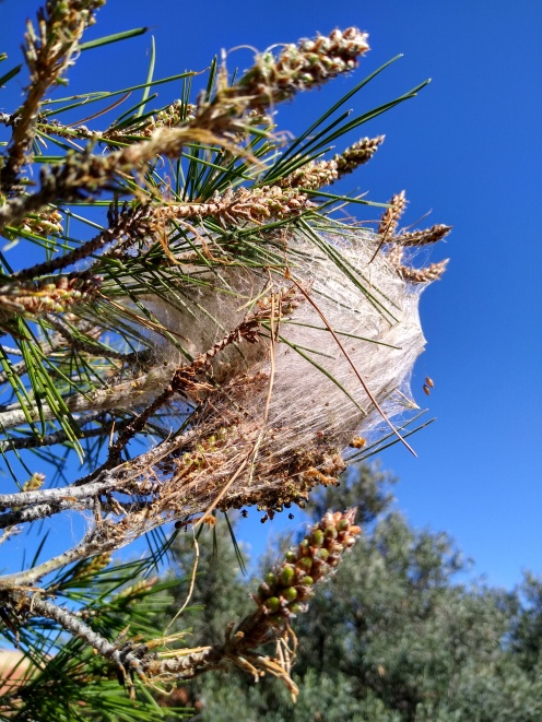 Processionary Pine Caterpillar Nest