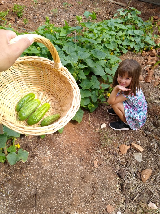 Harvesting pickling cucumbers